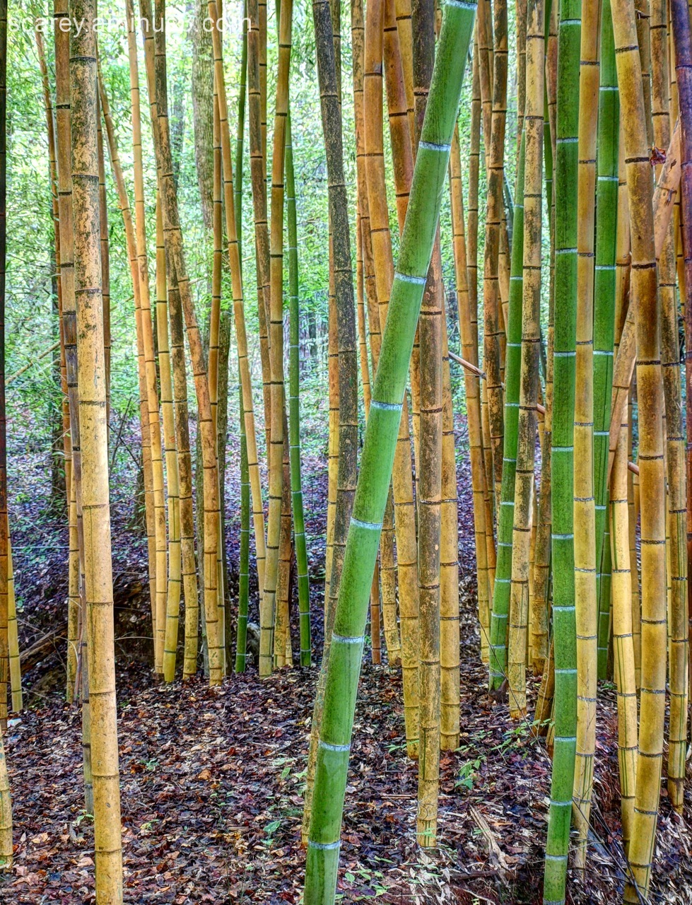 Giant bamboo Wilderness Park Prattville Alabama