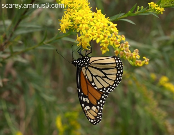 Monarch butter fly on Goldenrod