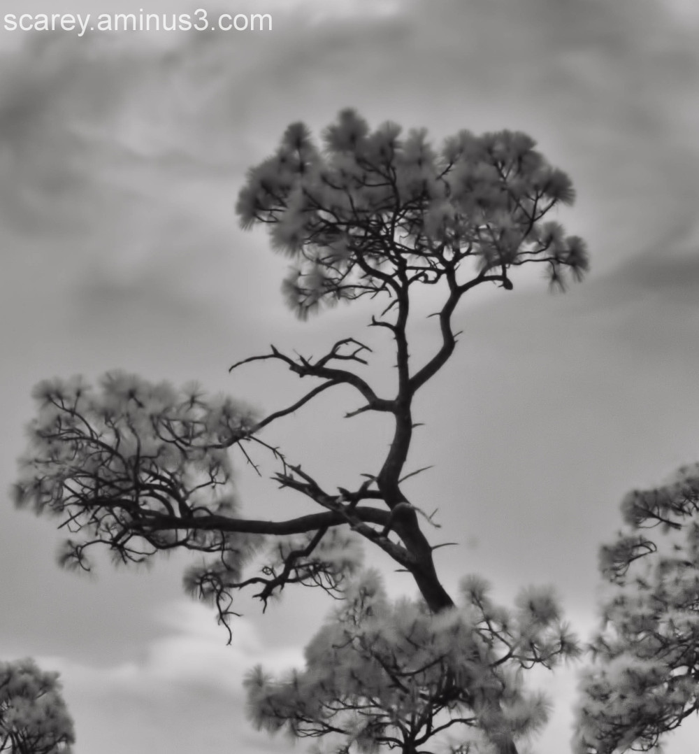 infrared image of pine tree and storm clouds