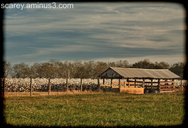 Cotton field and crib south Alabama