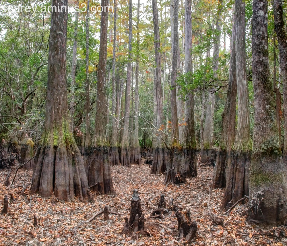A bald cypress swamp during drought in Alabama
