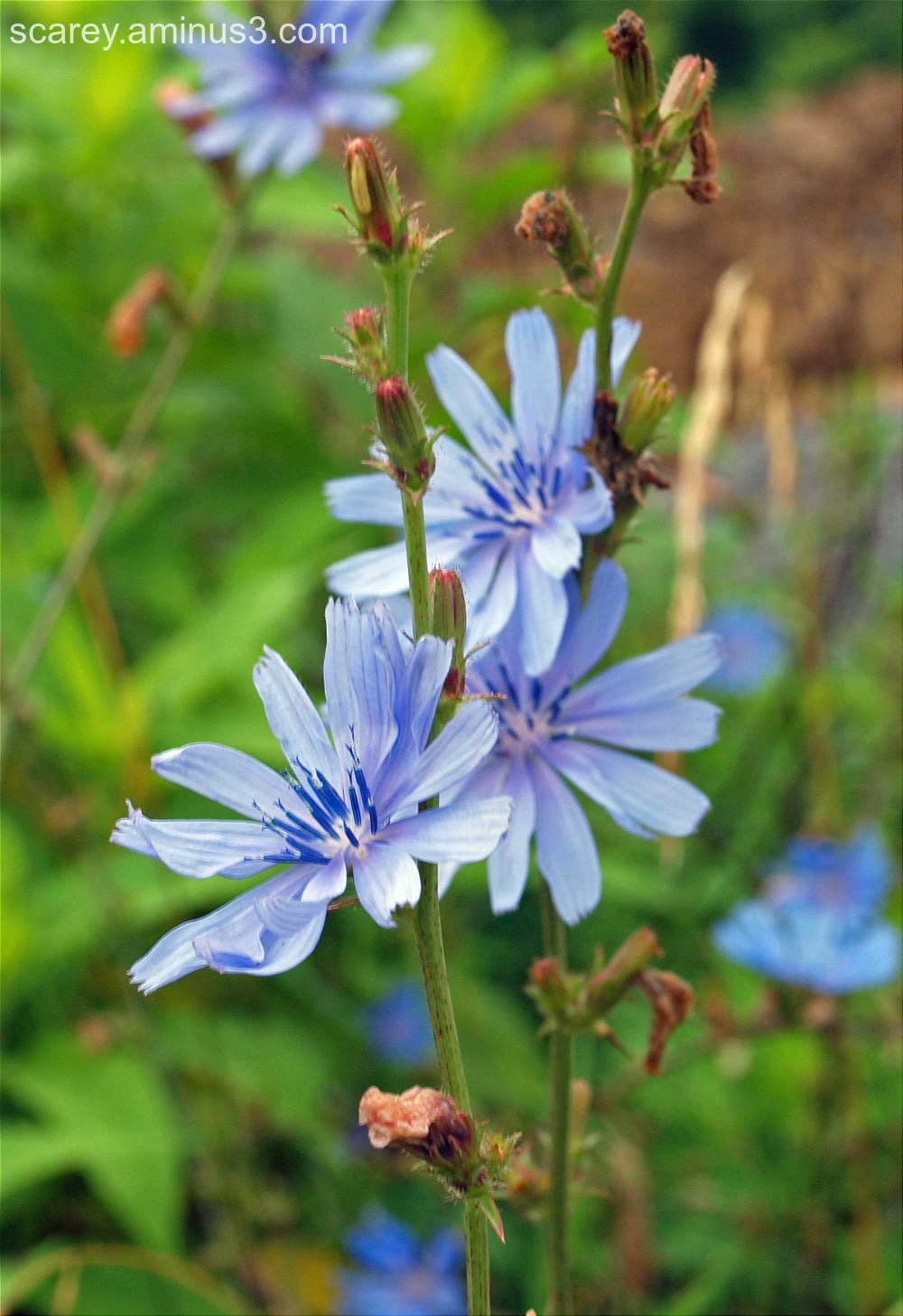Chicory flowers along real roadside in WV