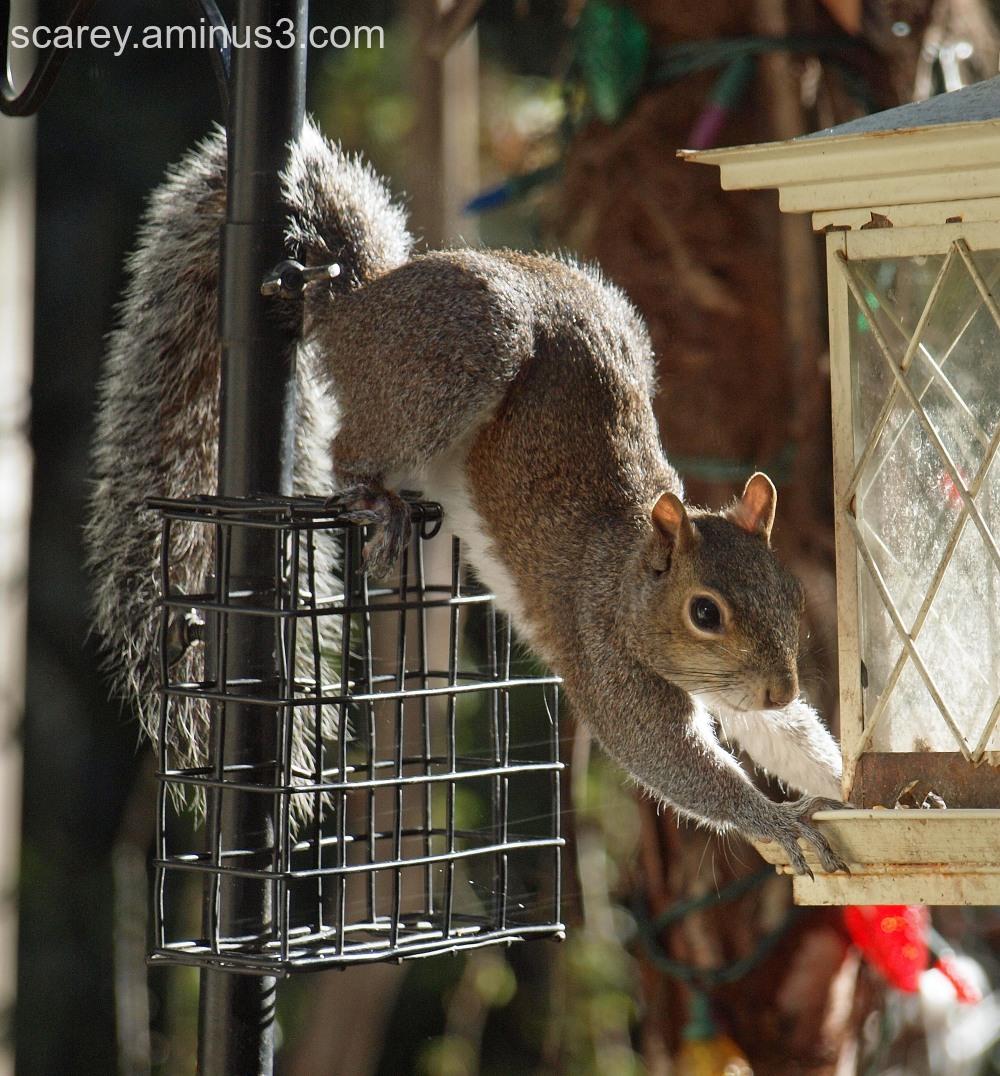 A grey squirrel raids a bird feeder.