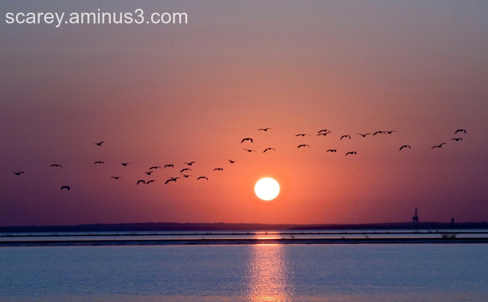 Brown pelicans take to the air at sunset
