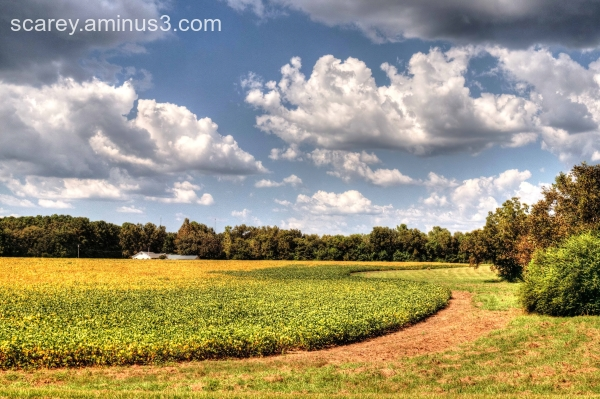 Soybean plants turning a golden yellow in the fall