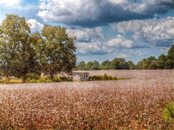 A cotton field in rural south Alabama.