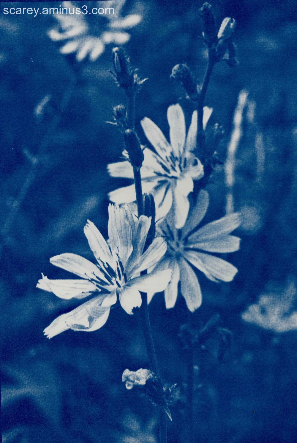 Cyanotype print of chicory flowers