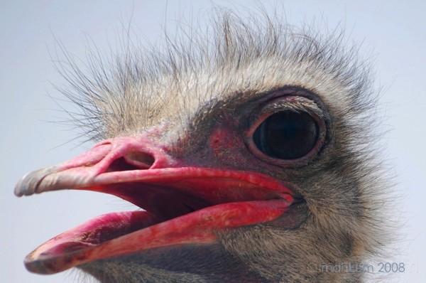 Ostrich farm, Oman