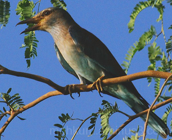 indian Roller Fahud Oman