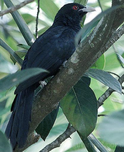 Cuckoo - The Koel