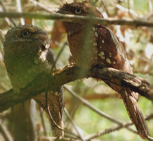 Sri Lankan Frogmouth Thattekkad bird sanctuary
