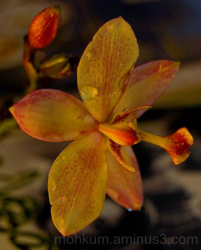 Cymbidium orchid Kerala