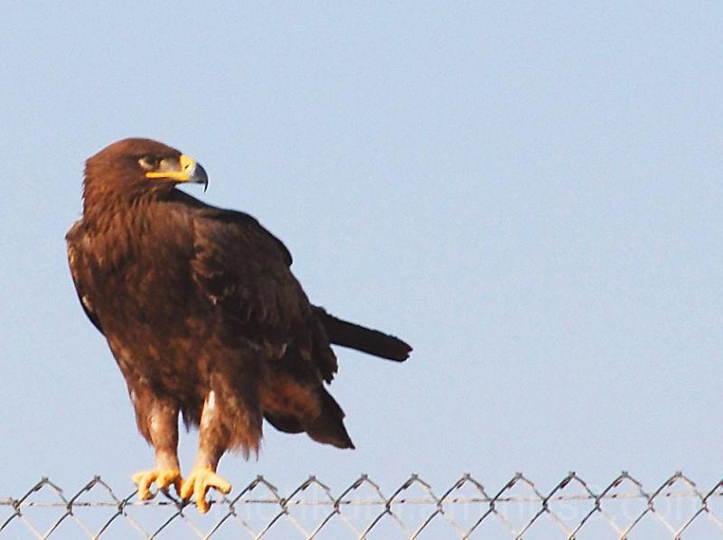 Oman steppe eagles fahud