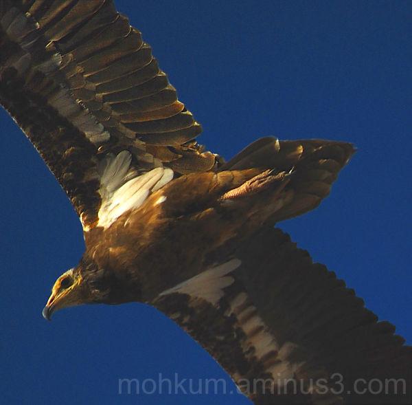 Steppe eagles Fahud desert  Oman