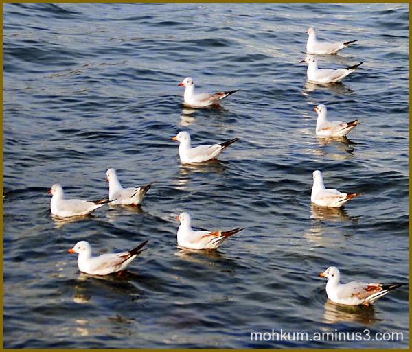 Sea gulls of Oman coast Matrah