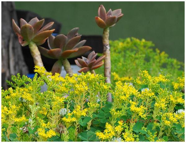 yellow flower manali