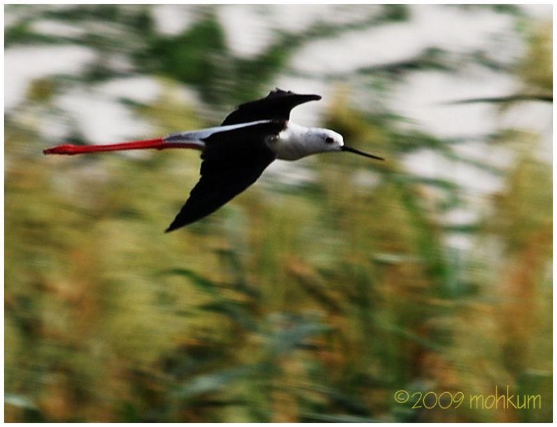 Black-winged stilt on flight