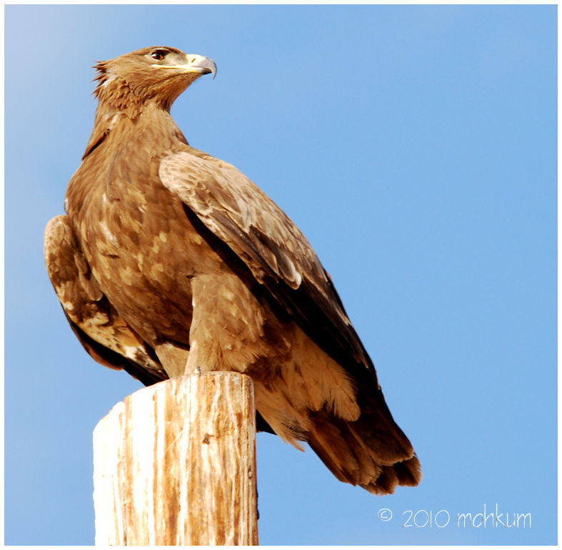 The steppe eagles of  Oman