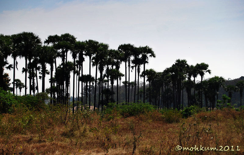 The palm trees of Palghat
