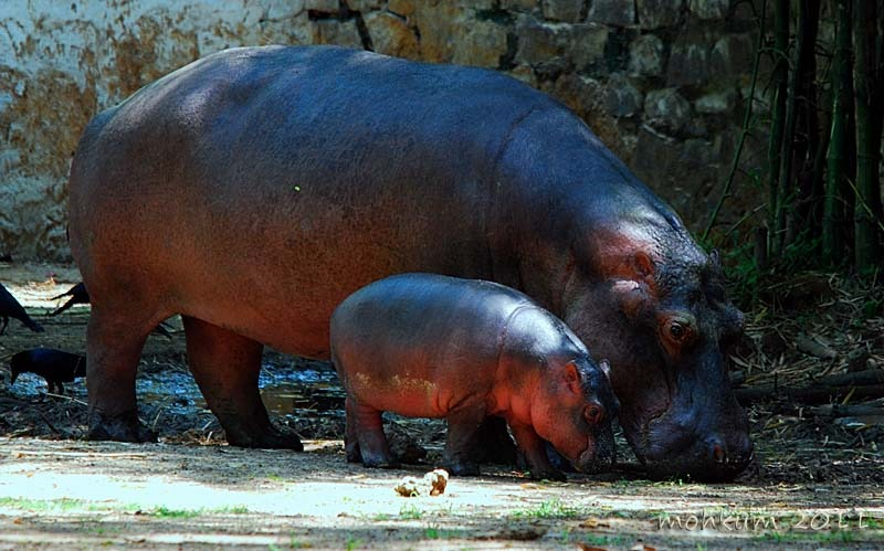 Zoo hippo gives birth!