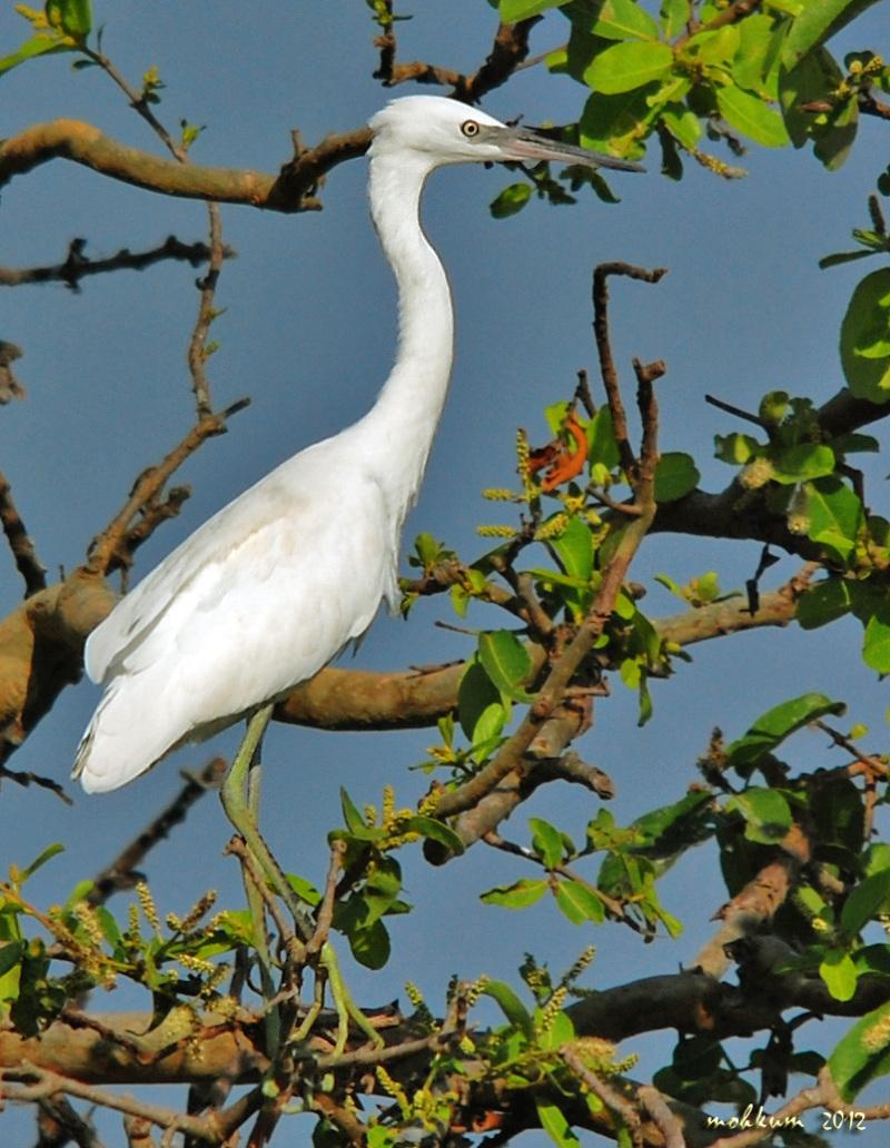 Black beak Egret