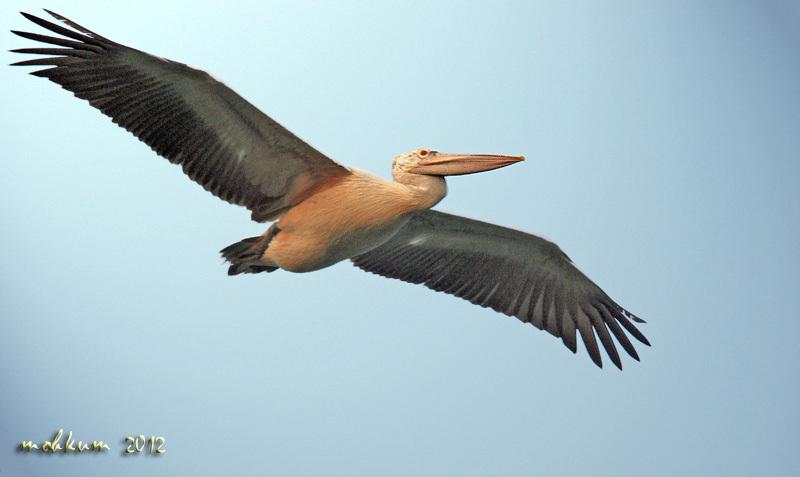 The pelican flypast!