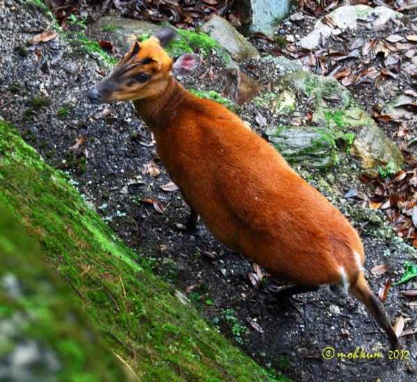 Barking deers of Darjeeling