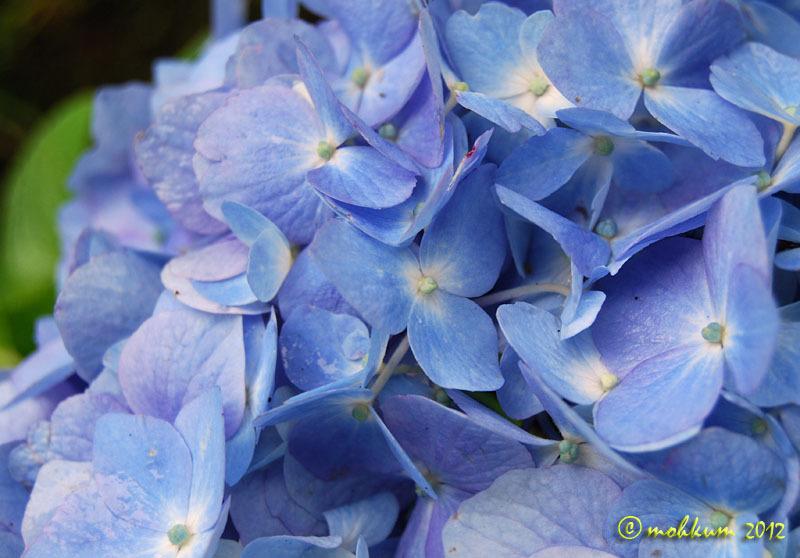 The blue hydrangea
