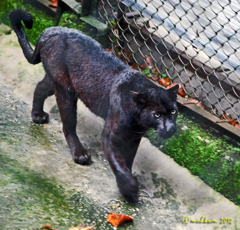 black panther darjeeling zoo