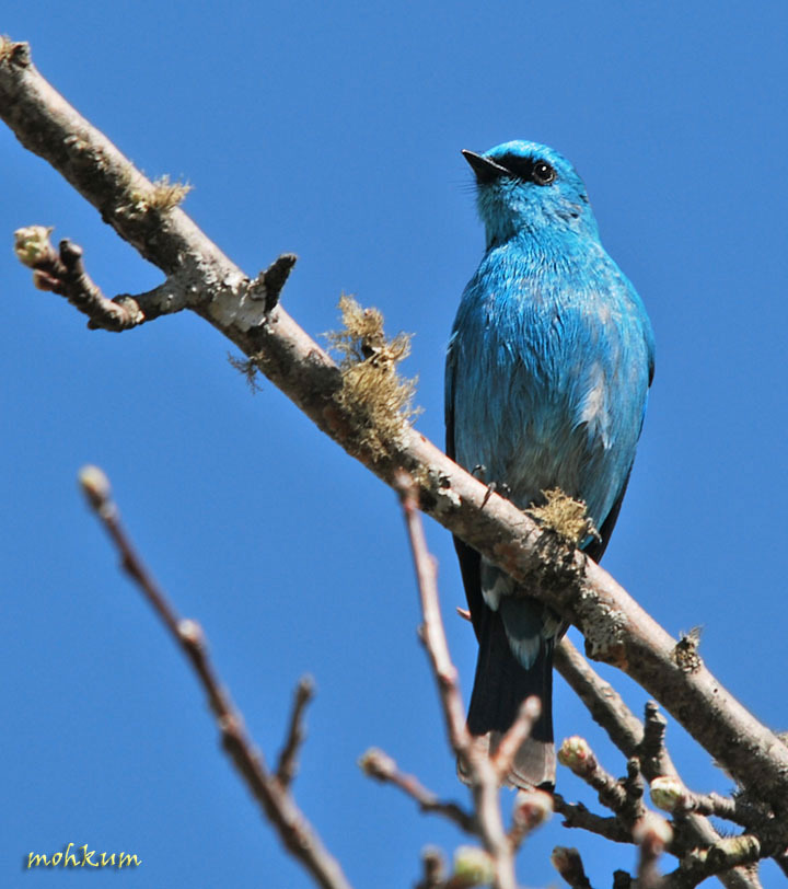 The blue flycatcher