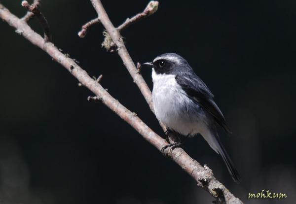 warbler bird forest dhanaulti utharakhand