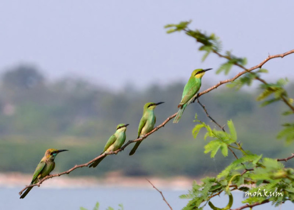 The bee eaters on watch!