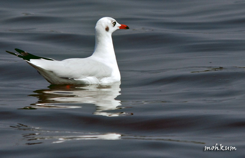 The red billed gull!