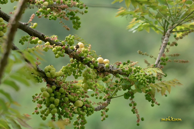 The watery gooseberry fruits!