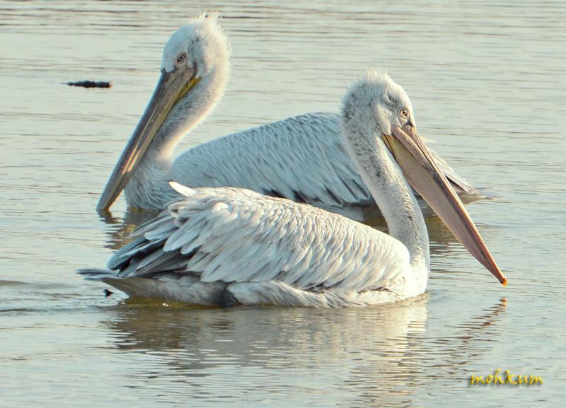 The Pelican!