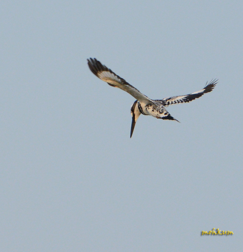 The Pied Kingfisher!