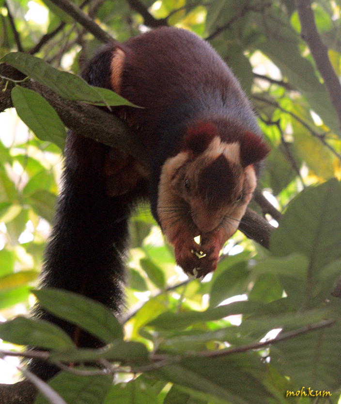 The Indian giant squirrel!