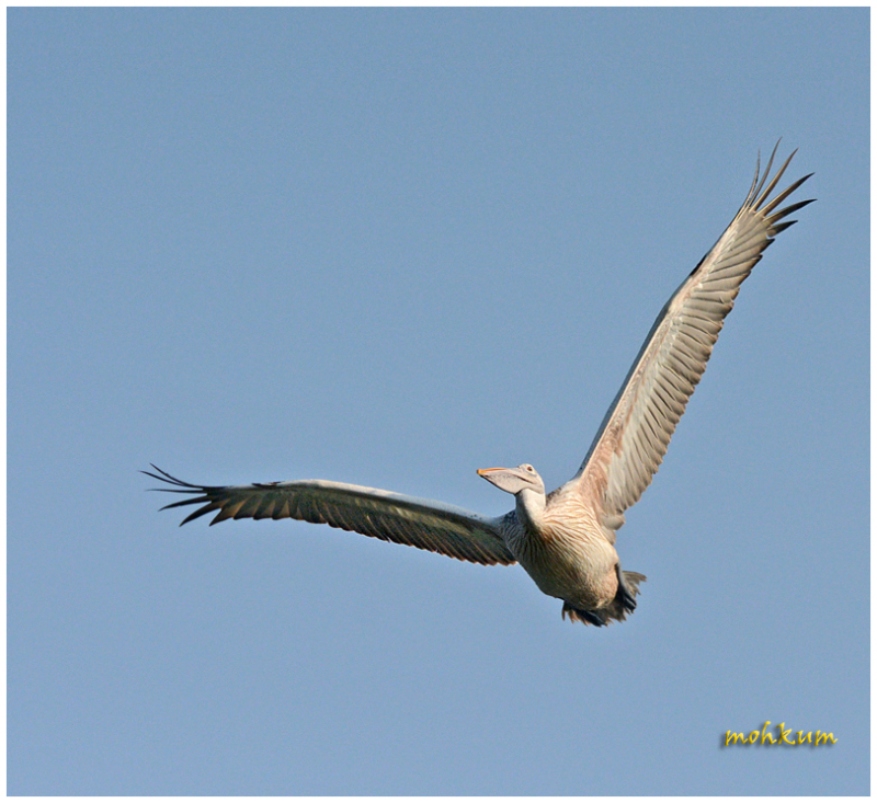 A Pelican on flight...