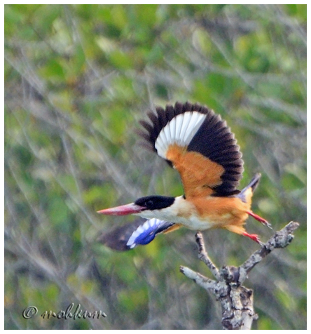 The blackcapped Kingfisher
