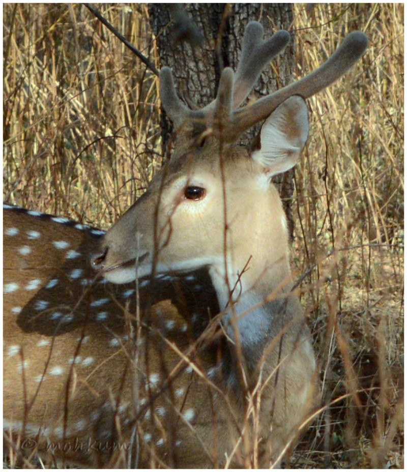 The spotted deer!