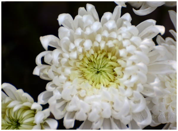 The Chrysanthemum flower!
