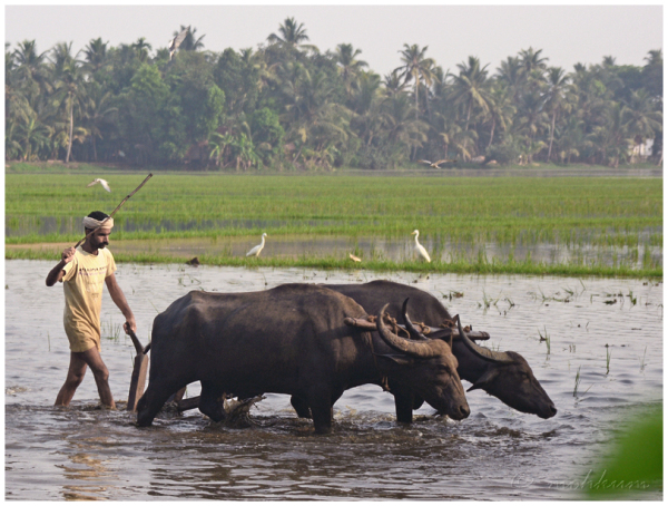 The paddy fields of Kerala!