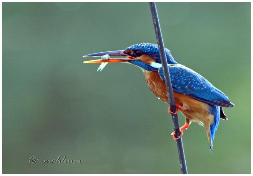 The king fishing!