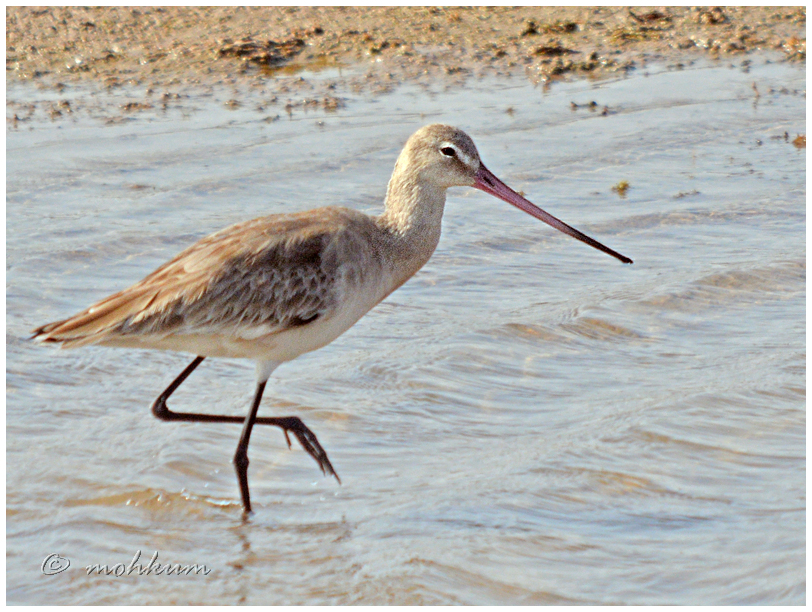 The Long-billed Curlew!
