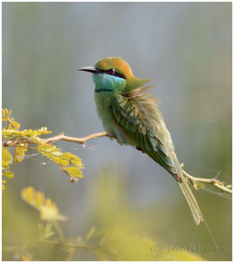 The bee eater!