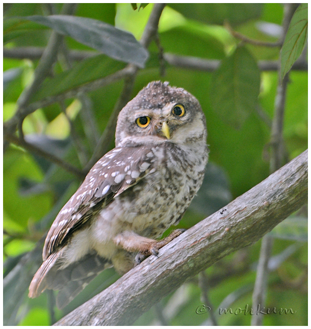 The spotted Owl!