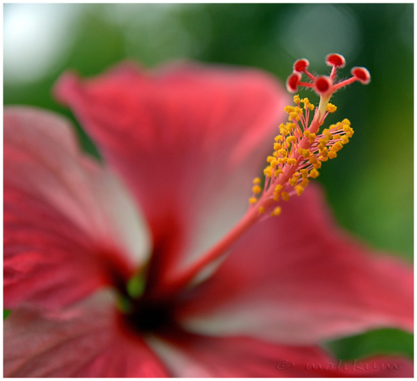 The blooming Hibiscus!