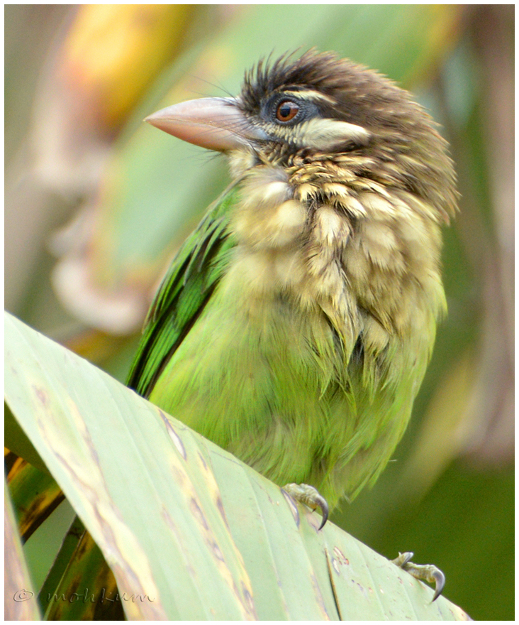 The brown Barbet!