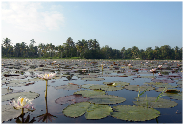 The blooming water lilies!