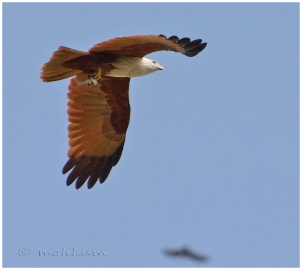 The flight with the prey!